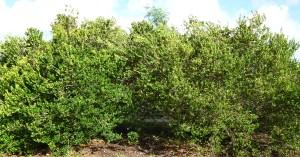 garden additions locust berry