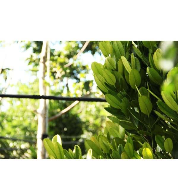 Garcinia Spicata (Mangosteen) leaves
