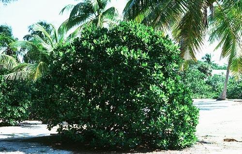 Genipa Clusiifolia (Seven Year Apple) bush