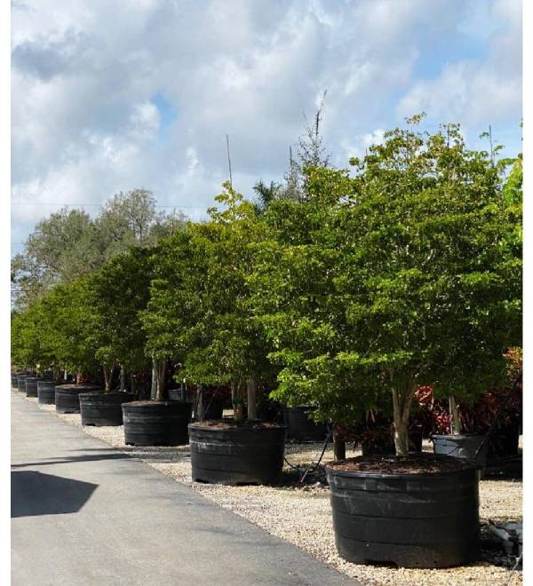 300 gallon Guaiacum Officinale tree row at TreeWorld Wholesale