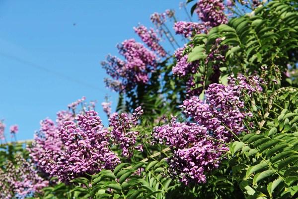 lonchocarpusviolaceus-flower4