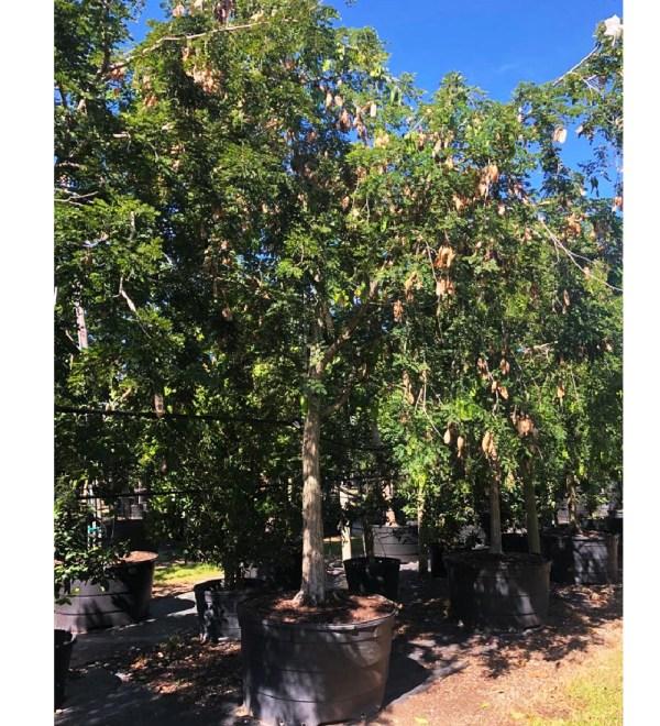 200 gallons lysoloma sabicu at TreeWorld Wholesale