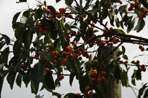 mastic tree-fruit