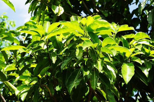 mastic tree-leaves