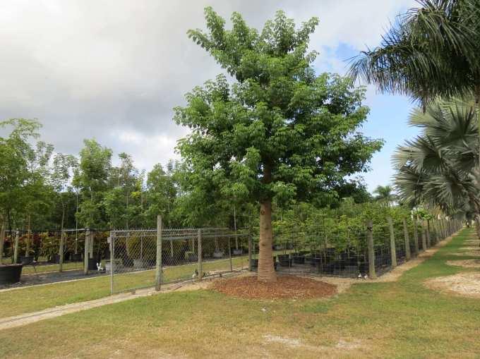 Nursery Plant Adasonia Digitata known as African Baobab at TreeWorld Wholesale
