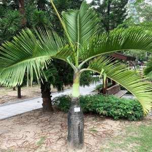 original-bottle-palm
