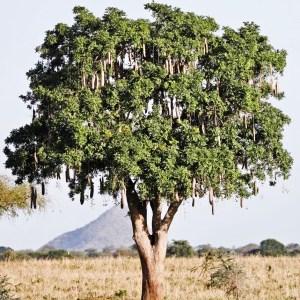 original-sausage-tree
