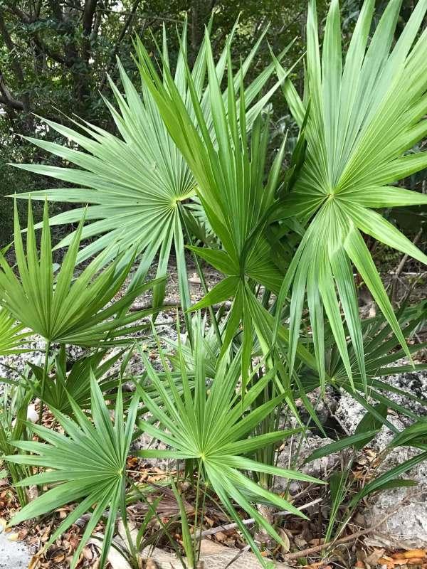 Serenoa repens (Saw palmetto)