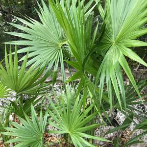 Serenoa repens (Saw palmetto)