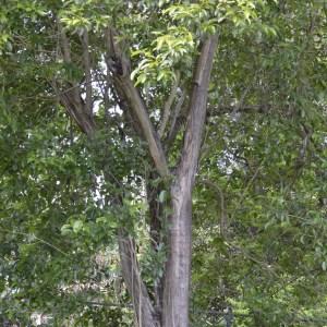 Citharexylum Spinosum (Fiddlewood)