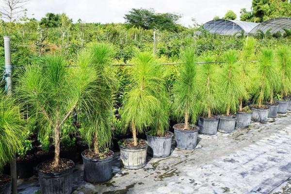 slash pine pinus elliottii -row