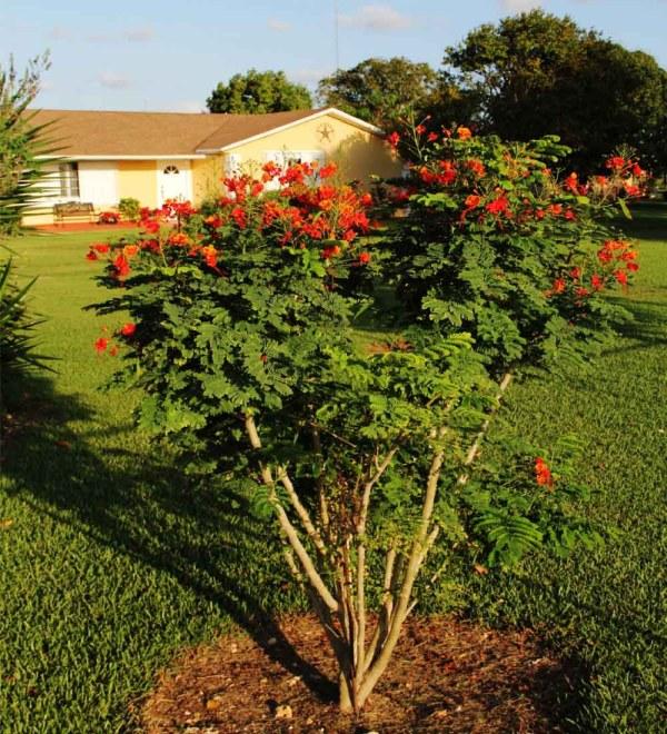 Planted graden Caesalpinia Pulcherrima Dwarf Poinciana