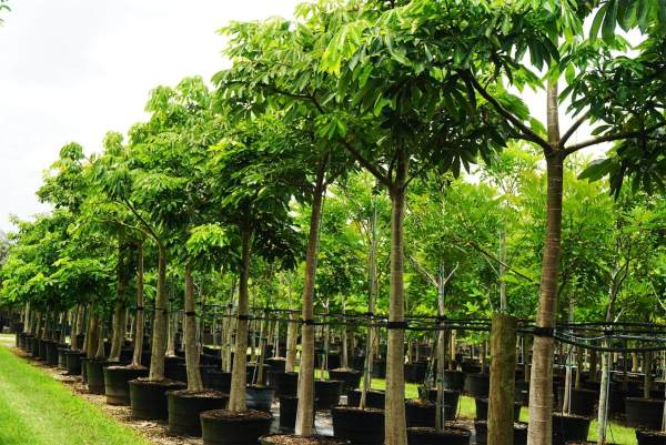 Pseudo Bombax Ellipticum tree row at TreeWorld Wholesale