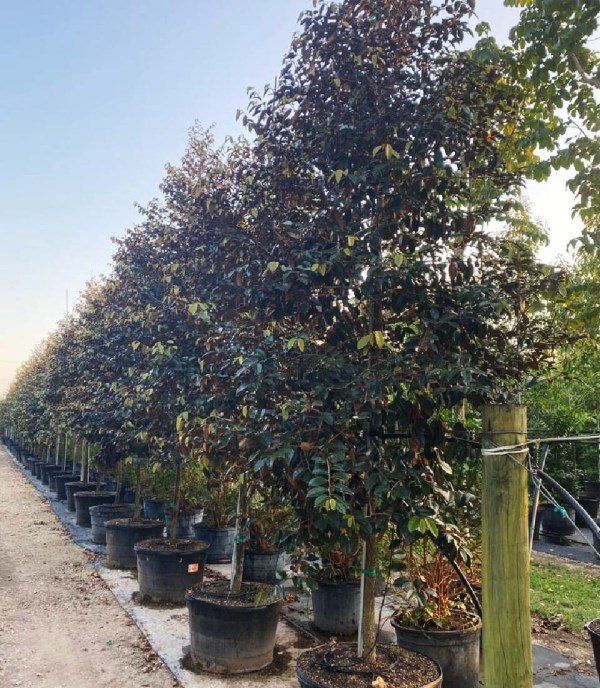 Tree row of 50 gallons Satinleaf at TreeWorld Wholesale