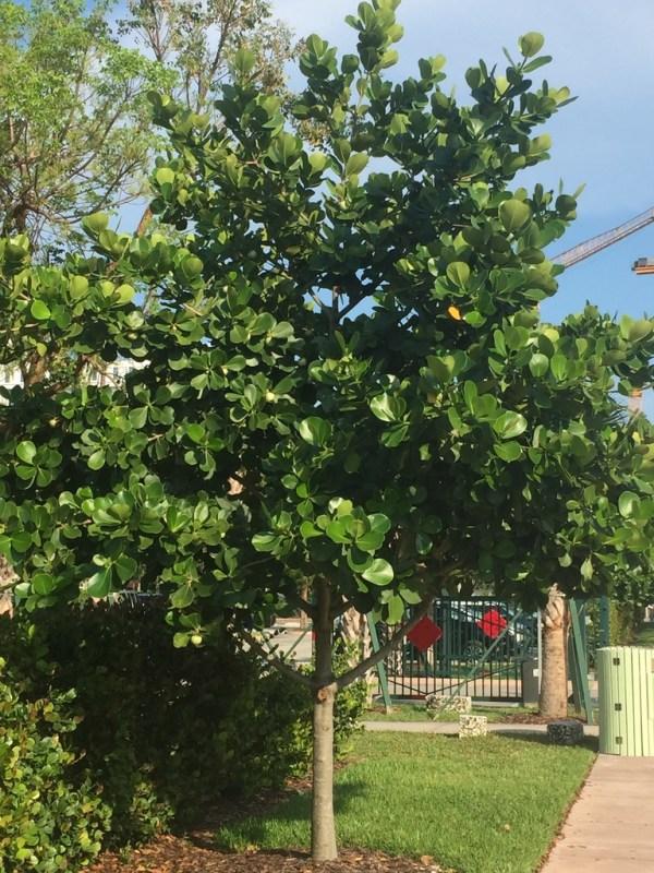 Clusia Rosea (Pitch Apple)