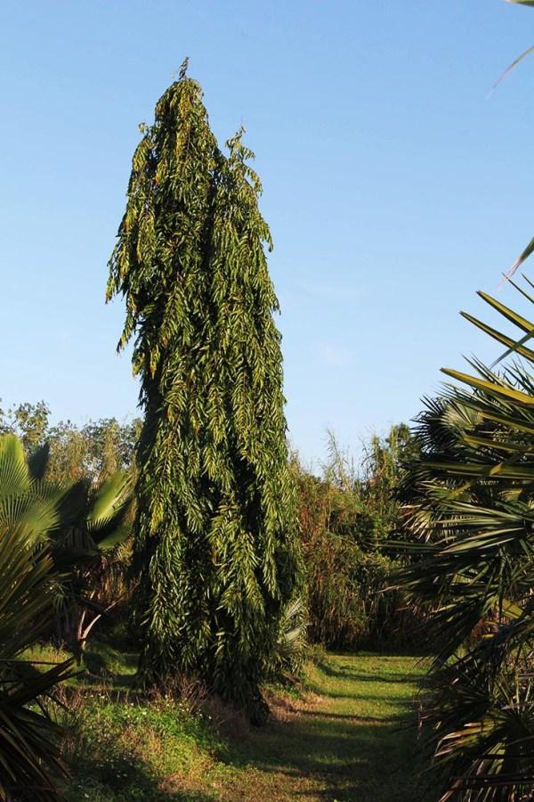 Specimen polyalthia longifolia - japanese fern tree