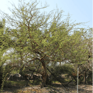 Acacia Seyal Specimen known as Red Acacia TreeWorld Wholesale
