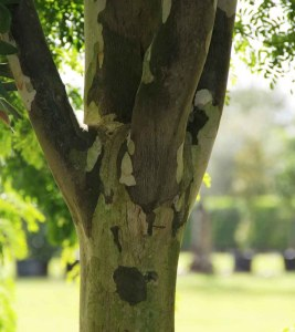 Components Of Trees trunk Caesalpiniaferrea known as Leopardtree at TreeWorld Wholesale
