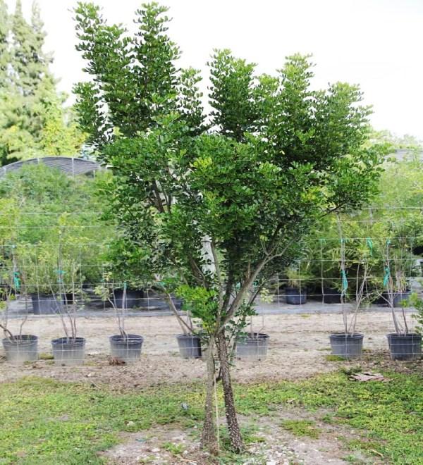 Zanthoxylum coriaceum (prickly ash)
