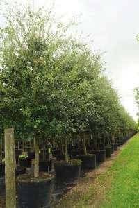 weeds in trees 100 gal -Quercus virginiana