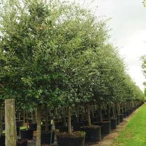 Quercus Virginiana (Southern live oak) weeds in trees 100 gal -Quercus virginiana