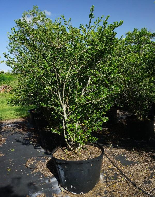 Randia Aculeata (Indigo berry) 100 gal