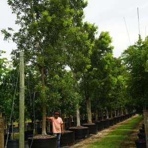 Swietenia mahagoni (West-Indies Mahogany)