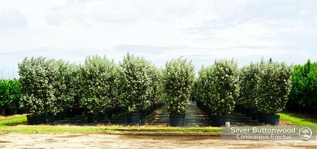conocarpus erectus var. sericeus at TreeWorld Wholesale