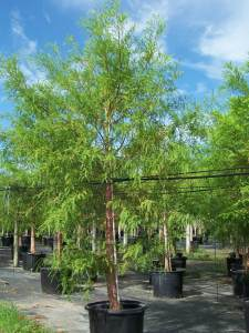 100 gal -Queweeds in trees taxodium Distichum (Bald Cypress)a