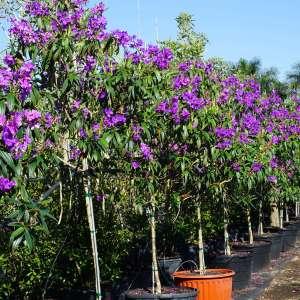 best time to plant a tree Tibouchina granulosa