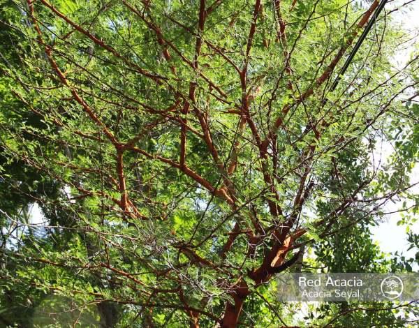 Red Acacia closeup branches at TreeWorld Wholesale