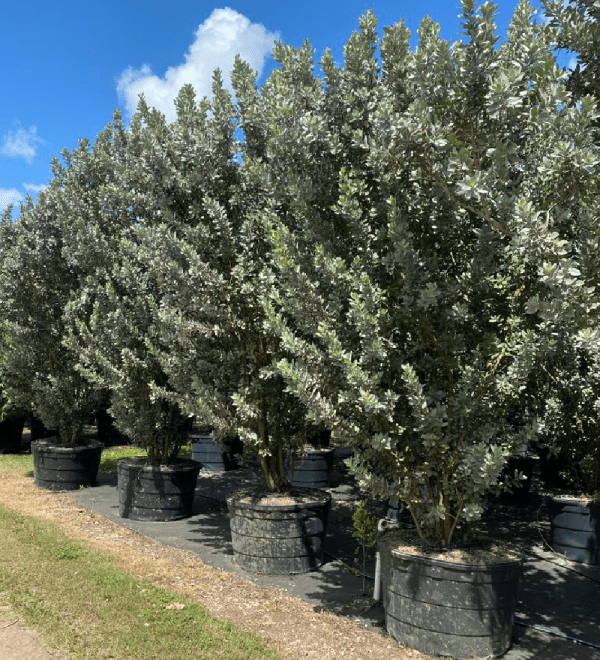 100 gallons Silver buttonwood bush-row at TreeWorld Wholesale