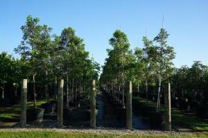 gardening soils Mahogany Trees
