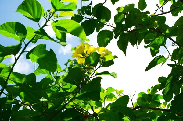 Cordia Lutea Leaves - Yellow Geiger