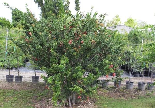 Pithecellobium Keyense (Blackbead)