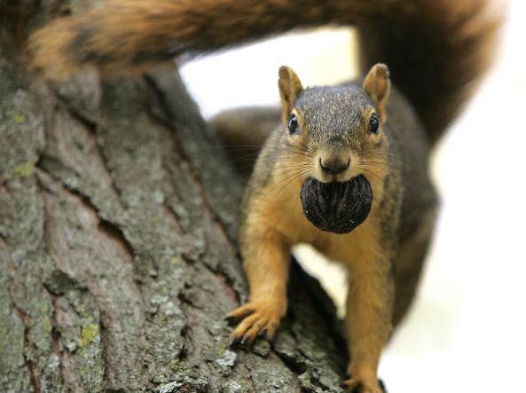 Di bosco e di città, rosso e grigio. Elogio dello scoiattolo, tenace simbolo della biodiversità