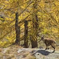Esperienza foto-naturalistica | Autunno nel Parco Nazionale del Gran Paradiso
