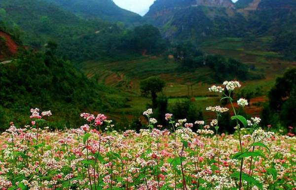 Travelling to Ha Giang in buckwheat flower season
