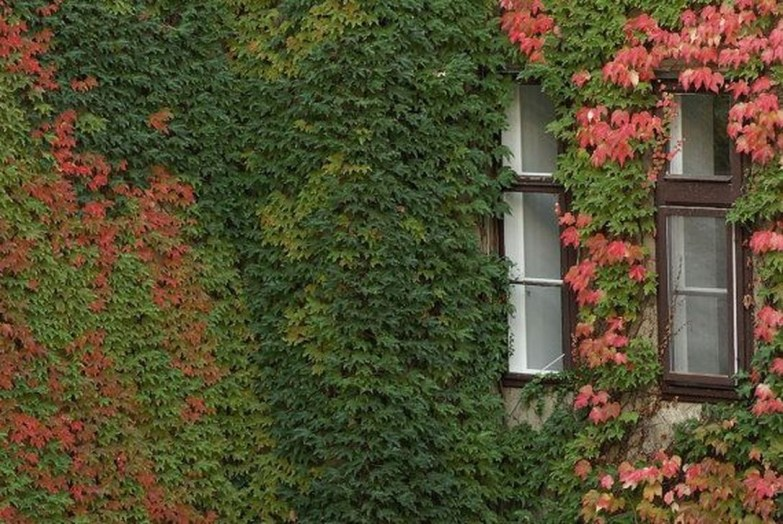 Beautiful Facades With Vines And Climbers 26
