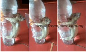 Man Ties Up Rat And Flogs It After Chewing His Phone Charger
