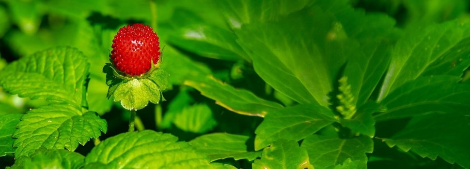 LED Lighting And Strawberry Production