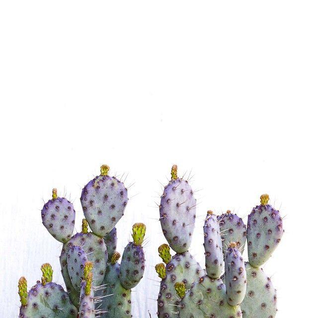 Cactus violet