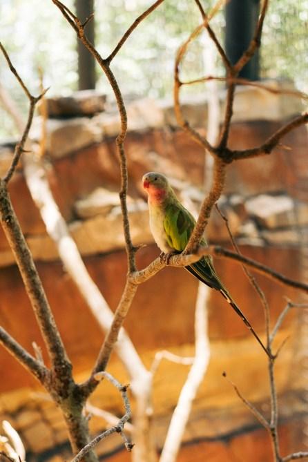 Petit perroquet - Australie