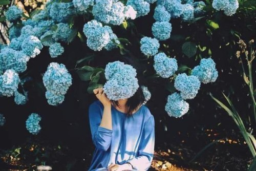 Blue Hortensias