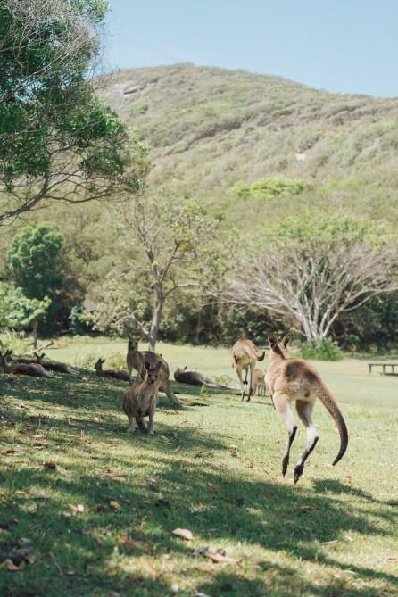 Colonie de kangourous - Arakoon