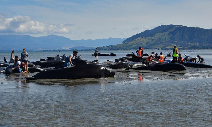 Balene arenate nell'Isola del Sud, in Nuova Zelanda. Alcune giàmorte