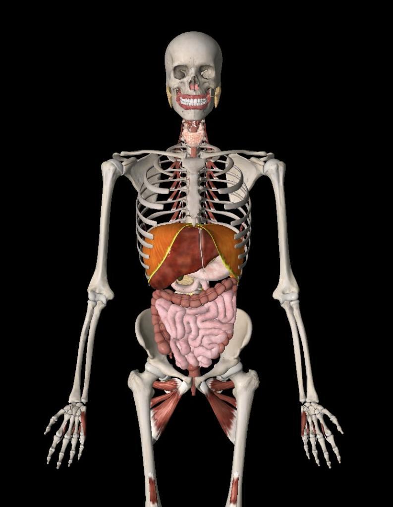 Orgány tela zobrazené na kostre