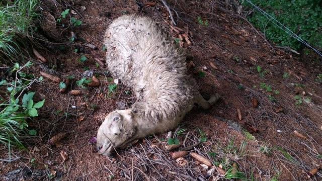 sicuri-che-le-pecore-morte-in-bondone-siano-vittime-orso-6