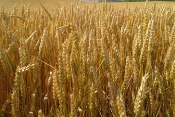 Getreide, Weizen