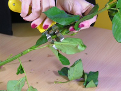 stripping foliage from the stems